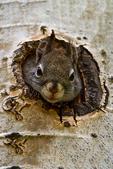 Red Squirrel, Tamiasciurus hudsonicus, Rocky Mountain National Park, Colorado, USA; RedSquirrelD3B4499xznse_ARS.tif