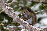 Red Squirrel, Chickaree, Tamiasciurus hudsonicus, eating a mushroom,  Cracked-Cap Bolete, Boletus chrysenteron, which grows under aspen, a species in the Boletaceae, cached in a tree and retrieved to eat; Subalpine Forest; Engelmann Spruce _ Subalpine Fir Forest {Engelmann Spruce, Picea engelmannii, Subalpine Fir, Abies bifolia, split from Abies lasiocarpa; habitats; forest association; spruce fir, boreal, Canadian Zone; ; Trail Ridge Road, Rocky Mountain National Park, Colorado, USA; RedSquirrel3B6754_ARS.CR2
