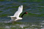 black-necked swan, Cygnus melancoryphus, Puerto Natales, Patagonia, Chile, South America, SwanBN3992L.tiff