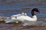 black-necked swan, Cygnus melancoryphus, adult with baby, babies, local; precocial; Puerto Natales, Patagonia, Chile, South America, SwanBN4209Lxzs.jpg