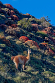 guanaco, Lama guanicoe, is a camelid native to South America that stands between 1 and 1.2 metres (3 ft 3 in and 3 ft 11 in) at the shoulder[2] and weighs about 90 kg (200 lb). The colour varies very little (unlike the domestic llama), ranging from a light brown to dark cinnamon and shading to white underneath. Guanacos have grey faces and small straight ears. To protect its neck from harm, the guanaco has developed thicker skin on its neck. The name guanaco comes from the South American language Quechua word wanaku (old spelling, huanaco).[3] Young guanacos are called chulengo(s). Guanacos are often found at high altitudes, up to 13,000 feet above sea level, except in Patagonia, where the southerly latitude means ice covers the vegetation at these altitudes. To survive the low oxygen levels found at these high altitudes the blood is rich in red blood cells. A teaspoon of guanaco blood contains about 68 billion red blood cells, ~four times that of a human.Torres del Paine National Park (Spanish: Parque Nacional Torres del Paine) is a national park encompassing mountains, glaciers, lakes, and rivers in southern Chilean Patagonia. The Cordillera del Paine is the centerpiece of the park. It lies in a transition area between the Magellanic subpolar forests and the Patagonian Steppes. Torres del Paine National Park is part of the Sistema Nacional de Áreas Silvestres Protegidas del Estado de Chile (National System of Protected Forested Areas of Chile). In 2006, it measured approximately 242,242 hectares. It is one of the largest and most visited parks in Chile. The Torres del Paine are the distinctive three granite peaks of the Paine mountain range or Paine Massif. They extend 2,850 meters above sea level, and are joined by the Cuernos del Paine. .  Chile, Patagonia, South America, Patagonian Scarlet Gorse, Anarthrophyllum desideratum, also known as Guanaco Bush or Fire Tongue, Called Mata Guanaco,(Guanaco Bush, Lengua de Fuego, Fire Tongue or Neneo Macho in Chile; Torres del Paine National Park Spanish: Parque Nacional Torres del Paine is a national park encompassing mountains, glaciers, lakes, and rivers in southern Chilean Patagonia. The Cordillera del Paine is the centerpiece of the park. It lies in a transition area between the Magellanic subpolar forests and the Patagonian Steppes. Torres del Paine National Park is part of the Sistema Nacional de Áreas Silvestres Protegidas del Estado de Chile (National System of Protected Forested Areas of Chile). In 2006, it measured approximately 242,242 hectares. It is one of the largest and most visited parks in Chile. The Torres del Paine are the distinctive three granite peaks of the Paine mountain range or Paine Massif. They extend 2,850 meters above sea level, and are joined by the Cuernos del Paine. The area also boasts valleys, rivers such as the Paine, lakes, and glaciers. The well-known lakes include Grey, Pehoé, Nordenskiöld, and Sarmiento. The glaciers, including Grey, Pingo and Tyndall, belong to the Southern Patagonia Ice Field. The park averages around 150,000 visitors a year, of which 60% are foreign tourists, Chile, Patagonia, South America, PATD3BG_3288oh.tif