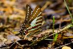 Indo-Chinese Spot Swordtail, Graphium nomius swinhoei ; larval host Annonaceae, Miliusa tomentosa, Polyalthia cerasoides; a type of Swallowtail Papilionidae, Thailand, Asia; Pacific Rim; SwordtailICS15321Lnzhs.tif