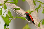 scarlet-backed flowerpecker, Prionochilus thoracicus, family Dicaeidae flowerpeckers family;  subtropical or tropical moist lowland forest and subtropical or tropical swamps. It is threatened by habitat loss; Thailand, Asia; Pacific Rim; FlowerpeckerSB16459chzesebL.tiff
