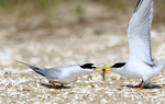 least tern, Sternula antillarum, rare, endangered, endangered species, male giving female a fish, pair bonding, at nest, nest duties exchange, Chincoteague National Wildlife Refuge, Virginia, Chincoteague, Delmarva Peninsula, Eastern Shore, Chincoteague Island, Chincoteague Is., USA,  TernL68840czseh.tif