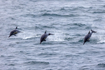 Long-beaked Common Dolphin, Delphinus capensis, Pelagic trip, Callao Port, Lima, Peru, South America, DolphinLBC11050nhxzs2b.tif