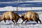 Rocky Mountain Elk, Cervus canadensis nelsoni; fighting, rut, antlers; male herd; Winter, wintertime; snow, snowstorm, snowflakes; = Cervus elaphus nelsoni, American Elk; Rocky Mountain National Park, Horseshoe Park, Colorado, USA; Elk2D7408znzns.tif