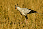 secretarybird or secretary bird, Sagittarius serpentarius, is a very large, mostly terrestrial bird of prey. Endemic to Africa, it is usually found in the open grasslands and savannah of the sub-Saharan region. Although a member of the order Accipitriformes, which also includes many other diurnal raptors such as kites, hawks, vultures, and harriers, it is given its own family, Sagittariidae.  It appears on the coats of arms of Sudan and South Africa. Masai Mara Game Reserve, Africa; Kenya, Masai Mara, Secretarybird8005_P.tiff
