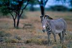 Grevy's zebra, Equus grevyi, largest of the zebra species, endangered, stripes are as distinctive as fingerprints, erect manes make them appear more mule-like than other zebras, many experts consider them striped asses rather than zebras; Samburu Game Reserve, Africa; Kenya, ZebraG28008_P.tiff