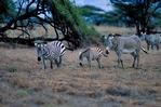 Grevy's zebra, Equus grevyi, largest of the zebra species, endangered, stripes are as distinctive as fingerprints, erect manes make them appear more mule-like than other zebras, many experts consider them striped asses rather than zebras; Samburu Game Reserve, Africa; Kenya, ZebraG28009_P.tiff
