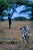 Grevy's zebra, Equus grevyi, largest of the zebra species, endangered, stripes are as distinctive as fingerprints, erect manes make them appear more mule-like than other zebras, many experts consider them striped asses rather than zebras; Samburu Game Reserve, Africa; Kenya, ZebraG28010_P.tiff