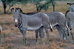 Grevy's zebra, Equus grevyi, largest of the zebra species, endangered, stripes are as distinctive as fingerprints, erect manes make them appear more mule-like than other zebras, many experts consider them striped asses rather than zebras; Samburu Game Reserve, Africa; Kenya, ZebraG28011_P.tiff