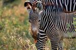 Grevy's zebra, Equus grevyi, largest of the zebra species, endangered, stripes are as distinctive as fingerprints, erect manes make them appear more mule-like than other zebras, many experts consider them striped asses rather than zebras; Samburu Game Reserve, Africa; Kenya, ZebraG28012_P.tiff