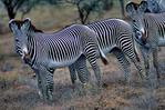 Grevy's zebra, Equus grevyi, largest of the zebra species, endangered, stripes are as distinctive as fingerprints, erect manes make them appear more mule-like than other zebras, many experts consider them striped asses rather than zebras; Samburu Game Reserve, Africa; Kenya, ZebraG28013_P.tiff