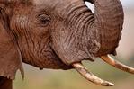 African elephants, African bush elephant, Loxodonta africana, Samburu Game Reserve, Africa; Kenya, ElephantA10043_P.tiff