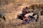 hyena, are not members of the canid or felid families, unique, mostly scavengers but can take down large prey; spotted hyena, Crocuta crocuta, giggly, laughing, largest member of hyena family, can eat one-third their body weight at one meal, one of most vocal mammals in Africa, matriarchal society, low ranking female cubs rank higher than highest ranking male; A wildebeest killed by lios attracts many savengers. Ngorongoro Crater, Tanzania, is in East Africa, Africa, HyenaS8028_P.tiff
