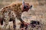 hyena, are not members of the canid or felid families, unique, mostly scavengers but can take down large prey; spotted hyena, Crocuta crocuta, giggly, laughing, largest member of hyena family, can eat one-third their body weight at one meal, one of most vocal mammals in Africa, matriarchal society, low ranking female cubs rank higher than highest ranking male; A wildebeest killed by lios attracts many savengers. Ngorongoro Crater, Tanzania, is in East Africa, Africa, HyenaS8029_P.tiff