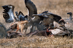Lappet-faced vulture or Nubian vulture, Torgos tracheliotos fends off Golden Jackal, golden jackal Canis aureus.  Carcus of Wildebeest from lion kill. Ngorongoro Crater, Tanzania, is in East Africa, Africa, VultureLf2032_P.tiff
