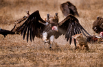 Lappet-faced vulture or Nubian vulture, Torgos tracheliotos fends off Golden Jackal, golden jackal Canis aureus.  Carcus of Wildebeest from lion kill. Ngorongoro Crater, Tanzania, is in East Africa, Africa, VultureLf2044_P.tiff