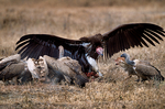 Lappet-faced vulture or Nubian vulture, Torgos tracheliotos fends off Golden Jackal, golden jackal Canis aureus.  Carcus of Wildebeest from lion kill. Ngorongoro Crater, Tanzania, is in East Africa, Africa, VultureLf8021_P.tiff