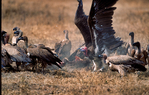 Lappet-faced vulture or Nubian vulture, Torgos tracheliotos fends off Golden Jackal, golden jackal Canis aureus.  Carcus of Wildebeest from lion kill. Ngorongoro Crater, Tanzania, is in East Africa, Africa, VultureLf8022_P.tiff