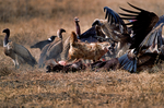 Lappet-faced vulture or Nubian vulture, Torgos tracheliotos fends off Golden Jackal, golden jackal Canis aureus.  Carcus of Wildebeest from lion kill. Ngorongoro Crater, Tanzania, is in East Africa, Africa, VultureLf8023_P.tiff