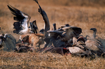 Lappet-faced vulture or Nubian vulture, Torgos tracheliotos fends off Golden Jackal, golden jackal Canis aureus.  Carcus of Wildebeest from lion kill. Ngorongoro Crater, Tanzania, is in East Africa, Africa, VultureLf8024_P.tiff