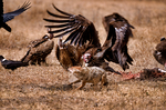 Lappet-faced vulture or Nubian vulture, Torgos tracheliotos fends off Golden Jackal, golden jackal Canis aureus.  Carcus of Wildebeest from lion kill. Ngorongoro Crater, Tanzania, is in East Africa, Africa, VultureLf8025_P.tiff
