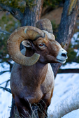 Bighorn sheep, Ovis canadensis, Yellowstone National Park,  Wyoming, United States of America, Bighorn2762zs2.tif