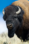 American Bison, Bison bison,large bull, alpha male, bull, male, animals; wildlife ; ruminant, ruminants; buffalo, USA; Wyoming, Yellowstone National Park, Hayden Valley, Bison54446hse2.tif