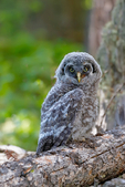 great gray owl, Strix nebulosa; baby, babies, nestling, nest, local; altricial, bird, avian; bird of prey {raptor, predatory, predator; owls, owl, nocturnal, hunts, hunts at night, facial disk; Yellowstone National Park,  Wyoming, United States of America, OwlGG388660xnzpse2.tif