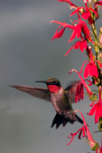 ruby-throated hummingbird, Archilochus colubris, bee balm, Monarda didyma, North America; United States of America {America, U.S., United States, US, USA}; Virginia, VA, Stephens City, animals; wildlife {undomesticated animals}; birds {avain, aves, bird}; hummingbird, Trochilidae; tiny, tiny bird, iridescent green, iridescent, migratory, soliary, diurnal, attracted to red flowers, plants; flower; wildflower; {bergamot, beebalm, Oswego-tea} {perennial, perennials}, hardy, motion, movement, action, fly {flying}, flight, in flight, eat, eating, attract, attracted, meal, food, feed, feeds, feeding, nectar, sugar, water