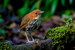 Chestnut-crowned Antpitta, Grallaria ruficapilla, Rio Blanco Natural Reserve is one of the most famous places in Colombia to view birds; consist mainly of montane wet forest or cloud forest;Columbia, South America; AntpittaCc9012aa.tif