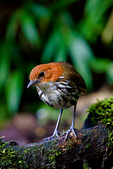 Chestnut-crowned Antpitta, Grallaria ruficapilla, Rio Blanco Natural Reserve is one of the most famous places in Colombia to view birds; consist mainly of montane wet forest or cloud forest;Columbia, South America; AntpittaCc77503_P.tiff