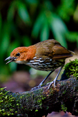 Chestnut-crowned Antpitta, Grallaria ruficapilla, Rio Blanco Natural Reserve is one of the most famous places in Colombia to view birds; consist mainly of montane wet forest or cloud forest;Columbia, South America; AntpittaCc77521_P.tiff