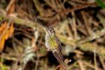 sword-billed hummingbird, Ensifera ensifera, Hotel Termales del Ruiz, Originally built in 1937, and recently remodeled; 3,500 m.a.s.l; Los Nevados National Park, Nevado del Ruiz, paramo, central Andes, high altitude paramo, Termales del Ruiz, Columbia, South America; SwordbillH1558zs.tif