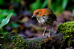 Chestnut-crowned Antpitta, Grallaria ruficapilla, Rio Blanco Natural Reserve is one of the most famous places in Colombia to view birds; consist mainly of montane wet forest or cloud forest;Columbia, Colombia, South America; AntPittaCct90187_P.tiff