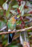 Glowing Puffleg, Eriocnemis vestita, hummingbird, Trochilidae;  La Calera Hummigbird Garden, La Calera; Eastern Andes (2600 - 3600 m / 8530 - 11810 Ft. Columbia, Colombia, South America; PufflegG17345crcmzvs.tif