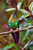Glowing Puffleg, Eriocnemis vestita, hummingbird, Trochilidae;  La Calera Hummigbird Garden, La Calera; Eastern Andes (2600 - 3600 m / 8530 - 11810 Ft. Columbia, Colombia, South America; PufflegG52323Lzvs.tif