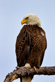 Bald Eagle, Haliaeetus leucocephalus, Chincoteague National Wildlife Refuge,  Virginia, Chincoteague, USA, Delmarva Peninsula, Eastern Shore, Chincoteague Island, Chincoteague Is. american eagle, USA national symbol; EagleB17208_P.tiff