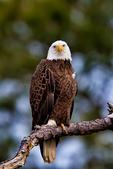 Bald Eagle, Haliaeetus leucocephalus, Chincoteague National Wildlife Refuge,  Virginia, Chincoteague, USA, Delmarva Peninsula, Eastern Shore, Chincoteague Island, Chincoteague Is. american eagle, USA national symbol; EagleB17243_P.tiff