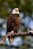 Bald Eagle, Haliaeetus leucocephalus, Chincoteague National Wildlife Refuge,  Virginia, Chincoteague, USA, Delmarva Peninsula, Eastern Shore, Chincoteague Island, Chincoteague Is. american eagle, USA national symbol; EagleB17268_P.tiff