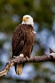 Bald Eagle, Haliaeetus leucocephalus, Chincoteague National Wildlife Refuge,  Virginia, Chincoteague, USA, Delmarva Peninsula, Eastern Shore, Chincoteague Island, Chincoteague Is. american eagle, USA national symbol; EagleB17278_P.tiff