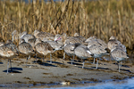 marbled godwit, Limosa fedoa; and Western Willet, Catoptrophorus semipalmatus, large sanpiper, Chincoteague National Wildlife Refuge, Virginia, Chincoteague, Delmarva Peninsula, Eastern Shore, Chincoteague Island, Chincoteague Is., USA,  birds  Shorebirds; sandpiper, Scolopacidae,often inserts its entire bill into the mud, its head is totally submerged at times, noisy calls and aerial displays are conspicuous; GodwitM28244_P.tiff