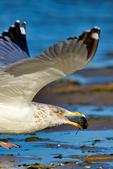 herring gull, Larus argentatus, eating clam,  Chincoteague National Wildlife Refuge, Virginia, bird, avian; seabirds, seabird; gull, seagull; HERG,large gull, flat forehead, pink legs, quintessential, basic seagull, common, common seagull, scavenger, opportunistic, characteristic of North Atlantic, predator, predatory, ingenius, Chincoteague, Delmarva Peninsula, Eastern Shore, Chincoteague Island, Chincoteague Is., animals; wildlife; GullH16494.CR2