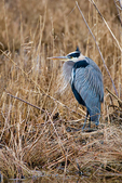 Great Blue Heron, Ardea herodias, Chincoteague National Wildlife Refuge, Virginia, Chincoteague, Delmarva Peninsula, Eastern Shore, Chincoteague Island, Chincoteague Is., USA,  birds, Ardeidae; HeronGB35322_P.tiff