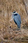 Great Blue Heron, Ardea herodias, Chincoteague National Wildlife Refuge, Virginia, Chincoteague, Delmarva Peninsula, Eastern Shore, Chincoteague Island, Chincoteague Is., USA,  birds, Ardeidae; HeronGB35350_P.tiff