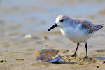 Sanderling, Calidris alba; Assateague Island National Seashore, Chincoteague National Wildlife Refuge, Virginia, Maryland, Chincoteague, Delmarva Peninsula, Eastern Shore, Chincoteague Island, Chincoteague Is., USA, animals; wildlife {undomesticated animals}; birds {avain, aves, bird}; Shorebirds; sandpiper, Scolopacidae,  {SAND,  most commonly seen in flocks chasing receding waves on ocean beaches, and running away from them when they return, one of the most widespread wintering shorebirds in the world, predominantly monogamous}