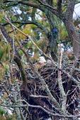 Bald Eagle, Haliaeetus leucocephalus, on nest with video camera, Chincoteague National Wildlife Refuge,  Virginia, Chincoteague, USA, Delmarva Peninsula, Eastern Shore, Chincoteague Island, Chincoteague Is. american eagle, USA national symbol; EagleB15617_P2.jpg