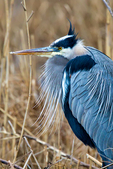 Great Blue Heron, Ardea herodias, Chincoteague National Wildlife Refuge, Virginia, Chincoteague, Delmarva Peninsula, Eastern Shore, Chincoteague Island, Chincoteague Is., USA,  birds, Ardeidae; HeronGB15729_P2.jpg