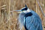 Great Blue Heron, Ardea herodias, Chincoteague National Wildlife Refuge, Virginia, Chincoteague, Delmarva Peninsula, Eastern Shore, Chincoteague Island, Chincoteague Is., USA,  birds, Ardeidae; HeronGB15744_P2.jpg